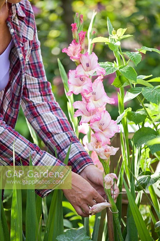 Woman staking fallen gladioli stems.