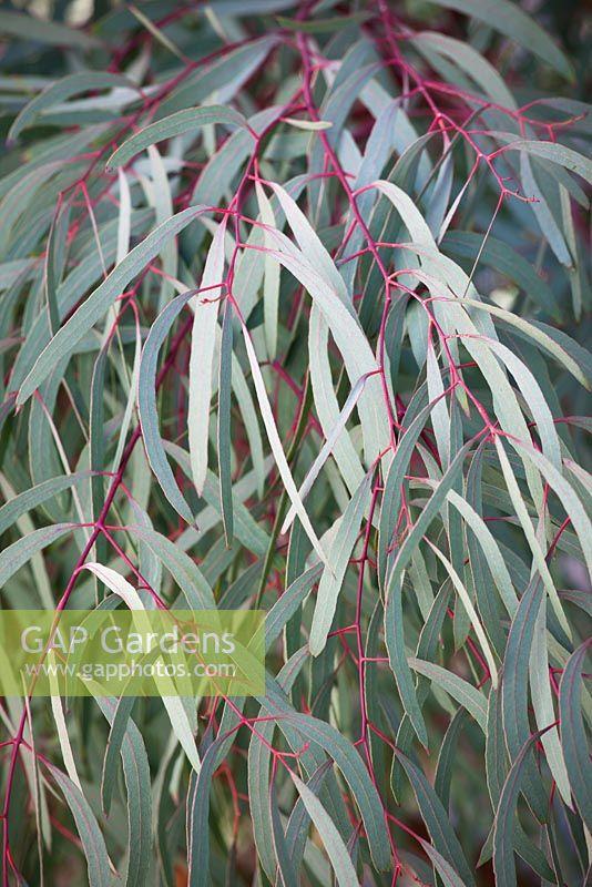 Eucalyptus Nicholii Narrow Leaved Black Peppermint Nichols Willow Leafed