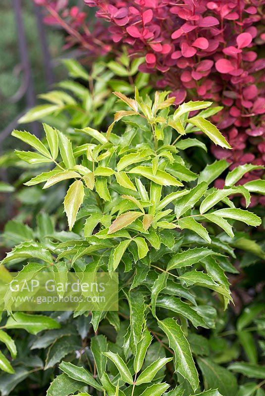 Gap Gardens Mahonia Aquifolium Compacta Image No 0592977