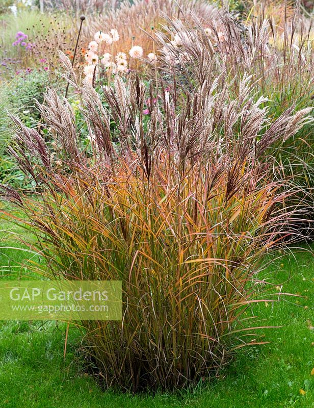 Miscanthus sinensis 'Gracillimus' in an ornamental grass display area.