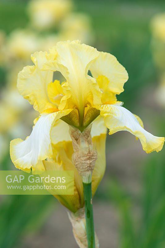 Gap gardens iris godfrey owen a tall lemon scented bearded iris godfrey owen a tall lemon scented bearded iris with yellow mightylinksfo