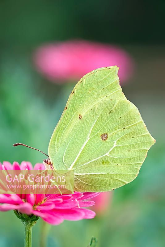 Gonepteryx rhamni - Brimstone on marguerite daisy flowers