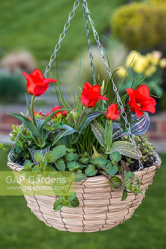 A late spring hanging basket planted with Tulipa 'Red Riding Hood' and herbs: sweet woodruff, origano, variegated origano, chives, Indian mint.