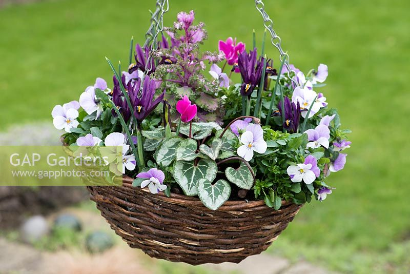 A winter hanging basket planted with Viola cornuta 'Sorbet Pink Wing', Iris reticulata 'J.S. Dijt', autumn cyclamen and ornamental cabbage.