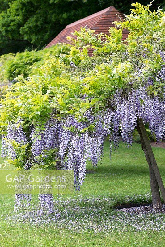 GAP Gardens - Wisteria floribunda \'Burford\', Japanese wisteria, a ...
