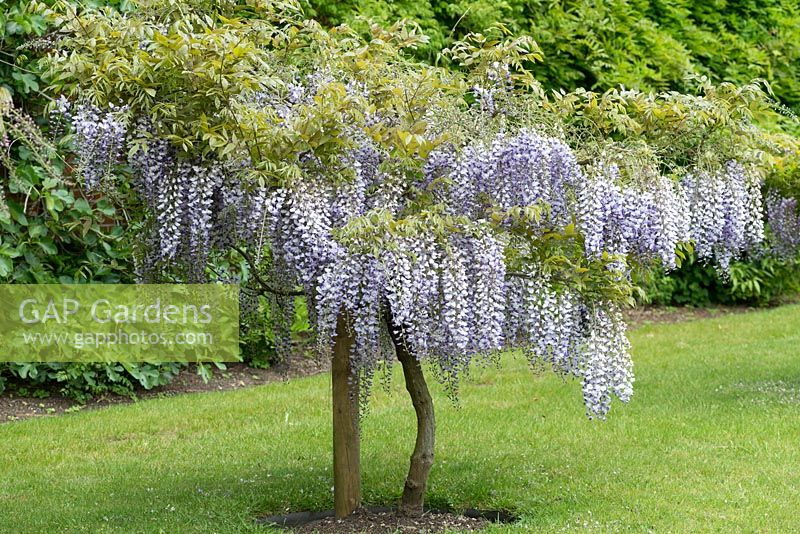 GAP Gardens - Wisteria floribunda \'Hocker Edge\', Japanese wisteria ...