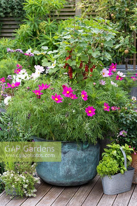 A vintage copper wash tub is planted with a central, standard redcurrant 'Jonkheer van Tets', enclosed in Cosmos bipinnatus 'Gazebo Mixed'.