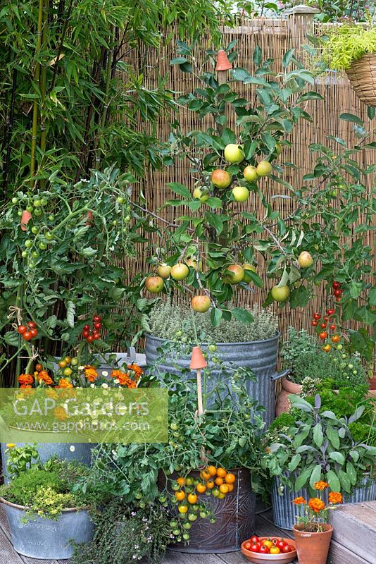 Coronet miniature apple tree. 'James Grieve' apple with 'Elstar', planted in old dustbin, amidst pots of herbs, tomatoes and French marigolds.