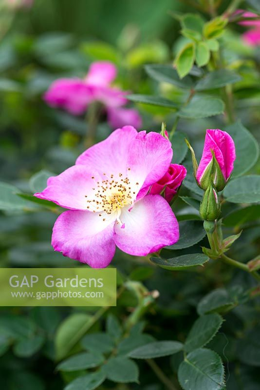Rosa 'Violet Cloud', a small patio rose that blooms continuously bearing small, pinkish single flowers.