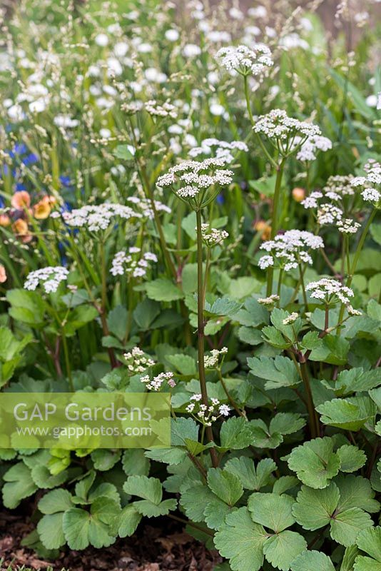 Gap gardens ligusticum scoticum scots lovage a white umbellifer a white umbellifer a clump forming perennial with glossy leaves and umbels of tiney white flowers followed by golden seed heads flowering in may mightylinksfo