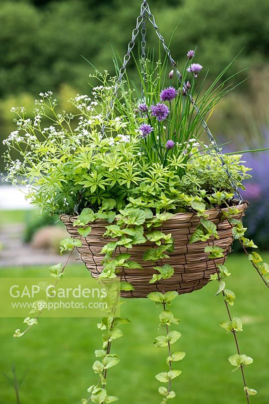 A late spring hanging basket with herbs: Sweet Woodruff, Oregano, Variegated Oregano, Chives, Indian Mint.
