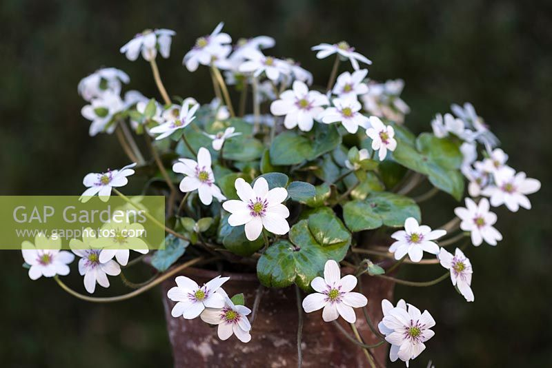 Hepatica nobilis var. japonica f. magna, clump forming, evergreen perennials with flowers in vibrant hues, from March until April.