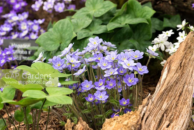 Hepatica americana, perennial with lobed evergreen foliage and flowers in pastel shades, from March until May.
