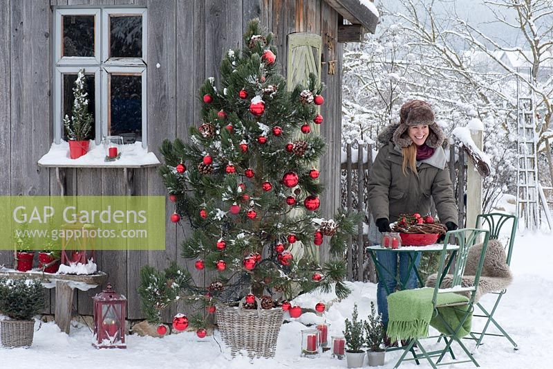 Woman in garden with Pinus as a living Christmas tree with cones and red baubles in the snow.