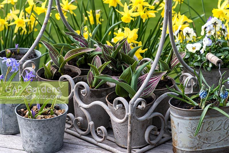 Tulip greggii 'Red Riding Hood', Chionodoxa luciliae, violas and muscari in metal containers.
