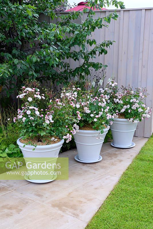 Squires 80th Anniversary Garden. Row of pots planted with Rosa 'White Pet'. Designer: Catherine MacDonald Sponsors: Squires Garden Centres. RHS Hampton Court Palace Flower Show 2016