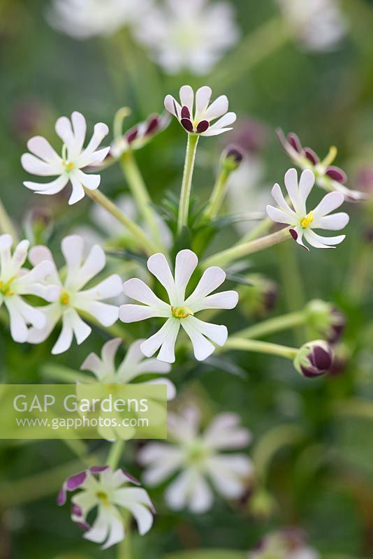 Zaluzianskya capensis - Night phlox