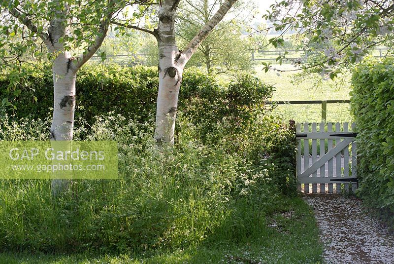 Betula utilis var jacquemontii - silver birch trees underplanted with Anthriscus sylvestris - cow parsley with path and gate in the early morning light - Gowan Cottage in May.