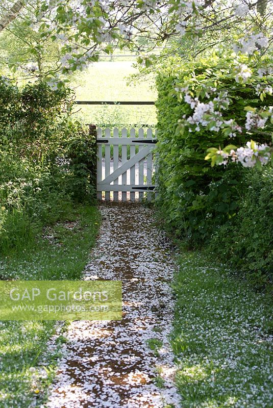 Prunus avium - wild cherry tree in blossom with path leading to a white gate in May. Gowan Cottage