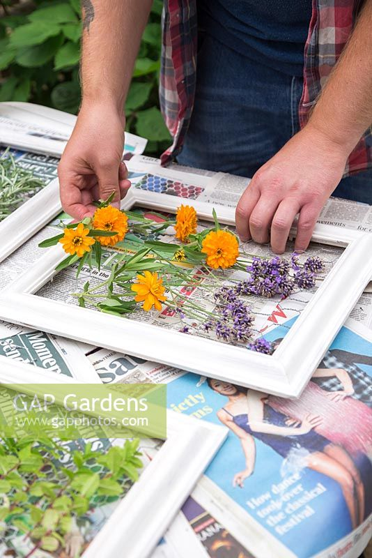 Calendula, Lavender and Rosemary being placed on the frames