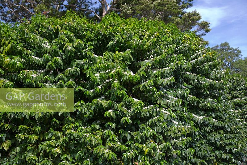 Gap gardens coffea arabica coffee shrubs with glossy green coffea arabica coffee shrubs with glossy green leaves and masses of clusters of small mightylinksfo