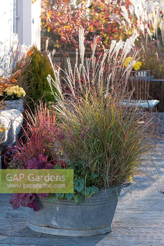 Miscanthus purpurascens 'Adagio', Heuchera and Imperata cylindrica 'Red Baron' in metal tub