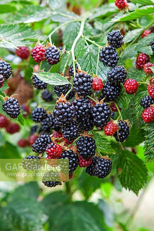 Rubus fruticosus - Blackberry 'Navaho Big and Early'
