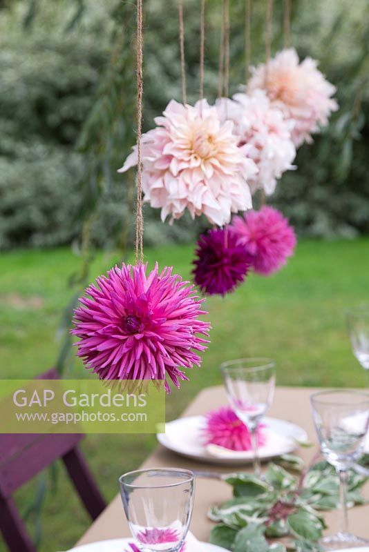 Cut flower heads of Dahlia 'Cafe au Lait' and Dahlia 'Orfeo' hanging in garden dining setting