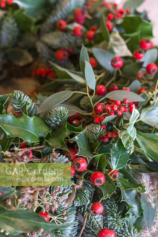 Detail of a traditional christmas wreath showing Eucalyptus gunnii, Rosa 'Bonica' rose hips, Ilex aquifolium, Cotoneaster lacteus and Pinus nobilis