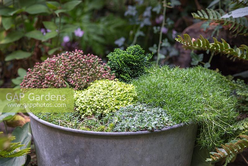 A mounded container in a shaded corner. Featuring Soleirolia soleirolii, Saxifraga paniculata, Sedum album 'Coral Carpet', Chamaecyparis obtusa 'Nana Gracilis' and Sagina subulata