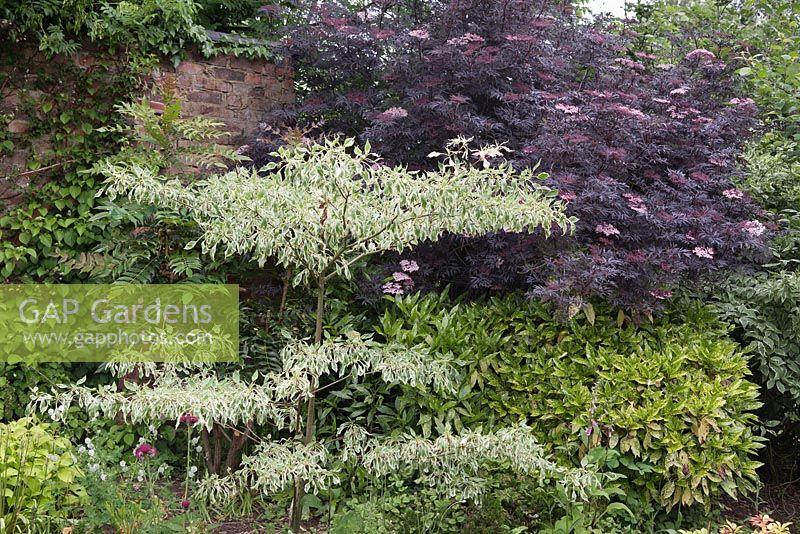 Gap Gardens Cornus Controversa Variegata Sambucus Nigra Black