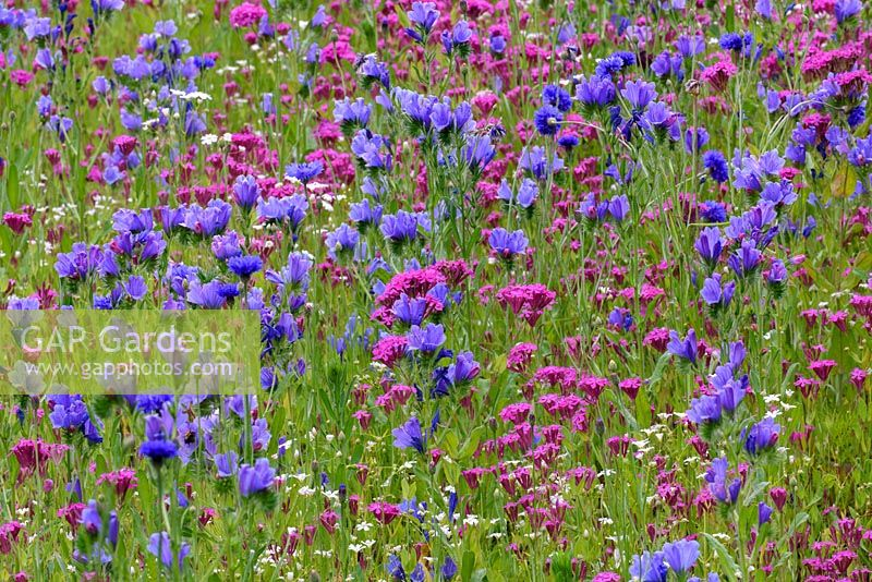 Wild flower meadow with Echium 'Dwarf Blue Bedder' - Viper's Bugloss, Silene armeria - catch Fly and corn flower