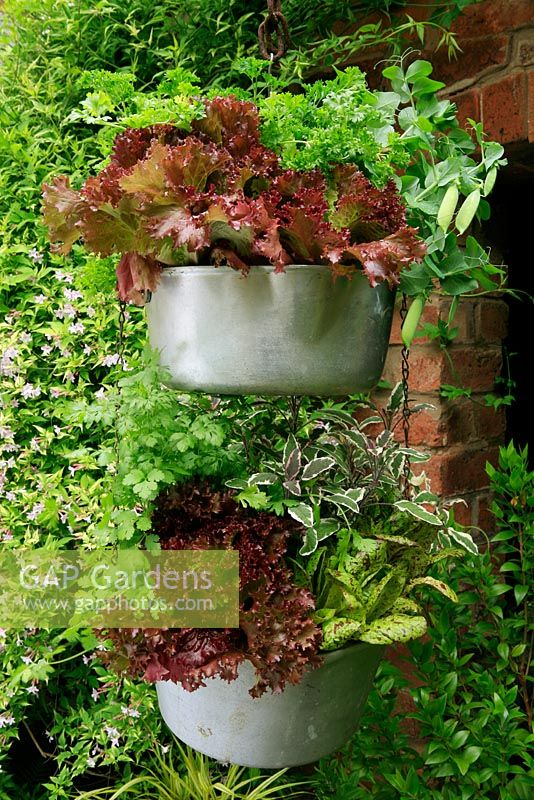 Vegetables and herbs growing in two metal jam pans, one suspended above the other against a warm, sheltered wall to give a long picking season. Red lettuce 'Giardini', Lettuce 'Freckles', variegated sage, Salvia officinalis 'Tricolor', Coriander, Pea 'Tom Thumb' and parsley.