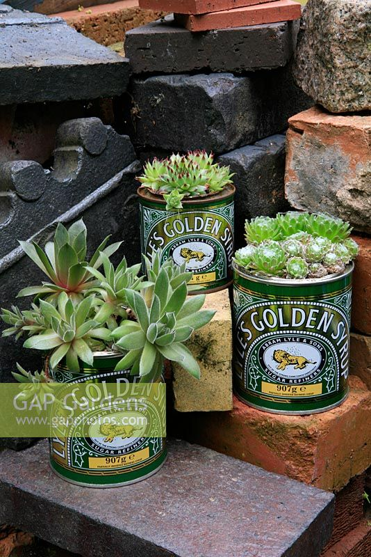 Houseleeks, Sempervivum growing in recycled golden syrup tins.