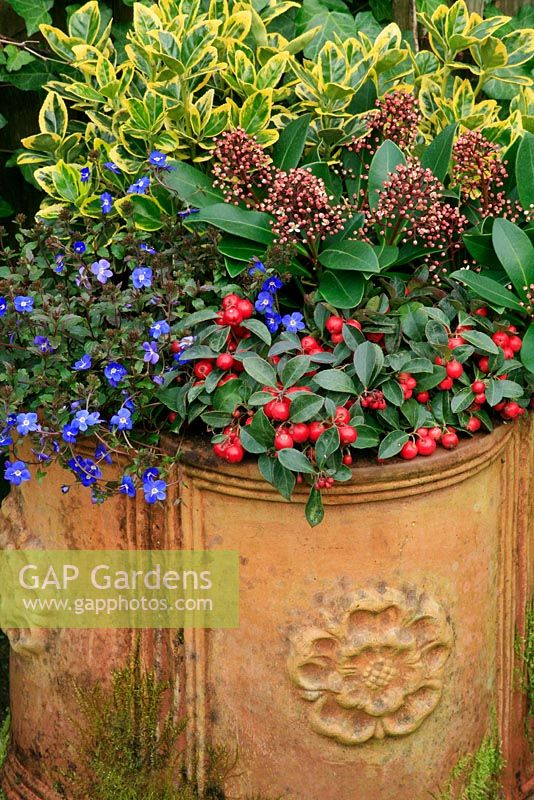 Winter colour from flowers, buds and berries from October to April in a terracotta container. Gaultheria procumbens on the rim with Veronica umbrosa 'Georgia Blue', Skimmia 'Rubella' and Euonymus japonicus 'Ovatus Aureus'.