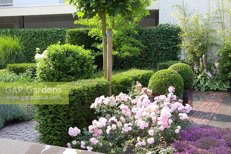 Taxus baccata hedge with Rosa 'Bonica' in front. Containers with Buxus sempervirens balls