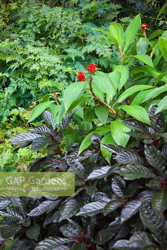 A layered planting with Hemigraphis colorata, waffle plant with purple foliage, Costus barbatus, spiral ginger with a red inflorescences and yellow flowers and Selaginella willdenowii, Peacock fern with blue green foliage.