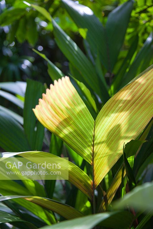 A pale green and red new palm frond growing in dappled light.