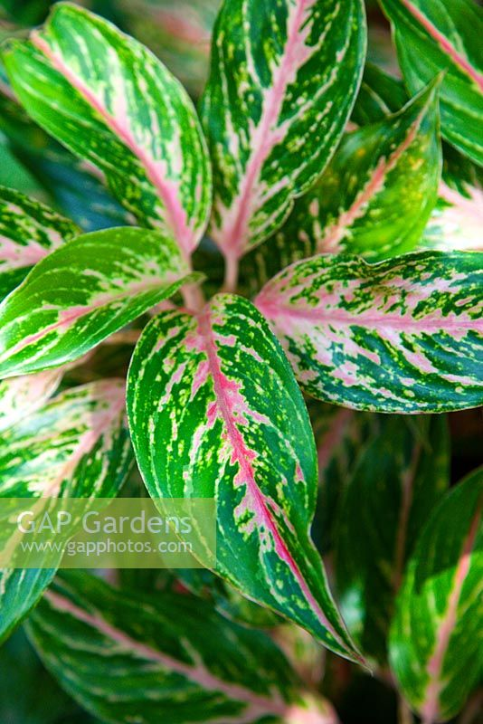 Aglaonema, cultivar from Thailand with pink, green and white variegated foliage.