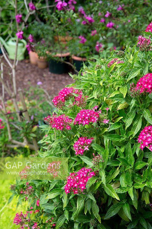 Gap Gardens Pentas Lanceolata Egyptian Starcluster A Small Shrub