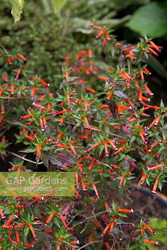 Gap gardens cuphea ignea cigar plant small shrub with red cuphea ignea cigar plant small shrub with red tubular flowers with purple and white mightylinksfo