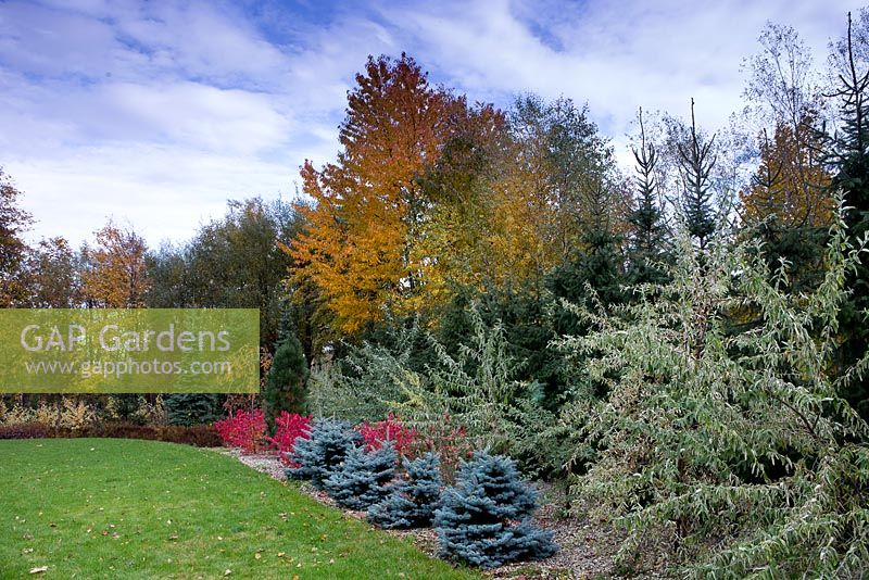 Autumn colour in mixed border of large mature trees and shrubs.
