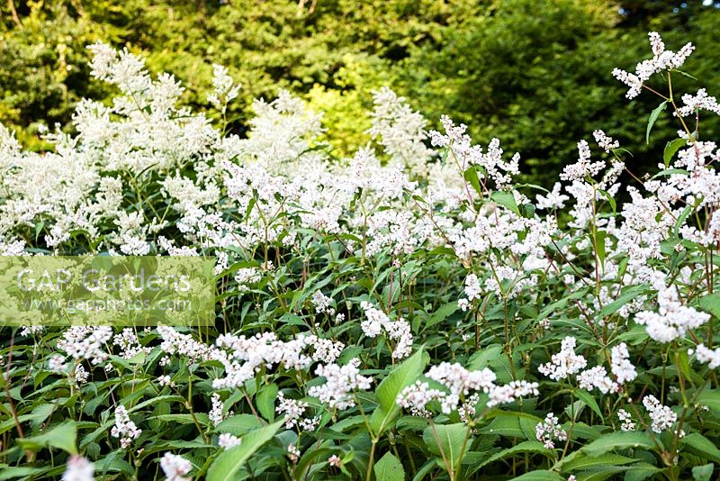 Persicaria campanulata 'Alba Group'. Veddw House Garden, Monmouthshire, South Wales.