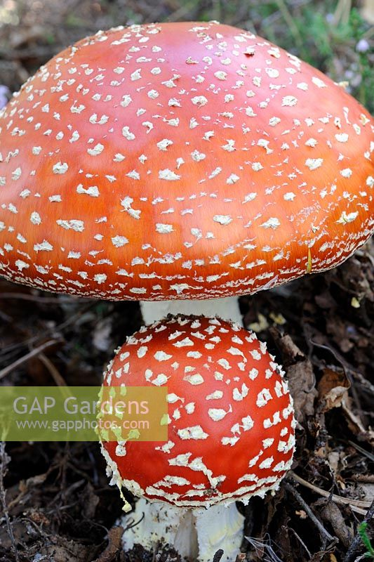 Fungi, fly agaric, amanita muscaria, two fruiting bodies in birch woodland, Norfolk, UK, September