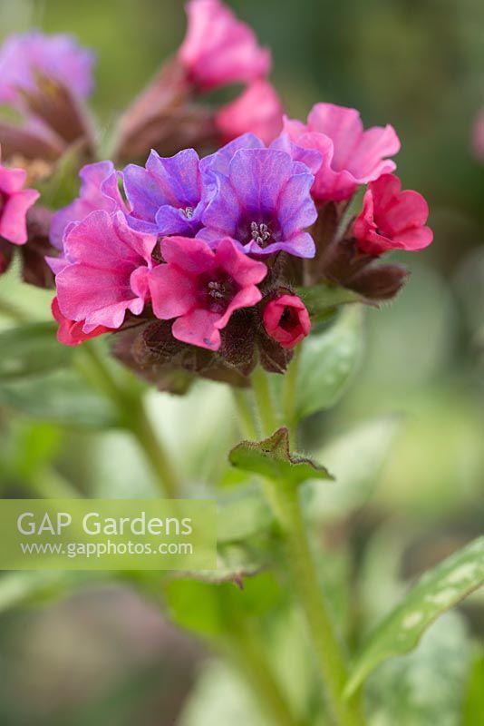 Gap Gardens Pulmonaria Silver Bouquet Image No 0610995
