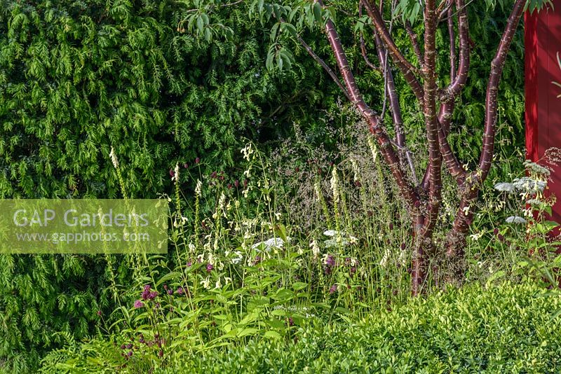 Herbaceous planting surrounding Prunus serrula tree in front of Taxus baccata hedge. Squire's 80th Anniversary Garden, RHS Hampton Court Flower Show 2016.