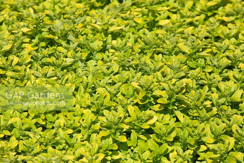 Origanum Vulgare Au Stock Photo By Brent Wilson Image 0612838
