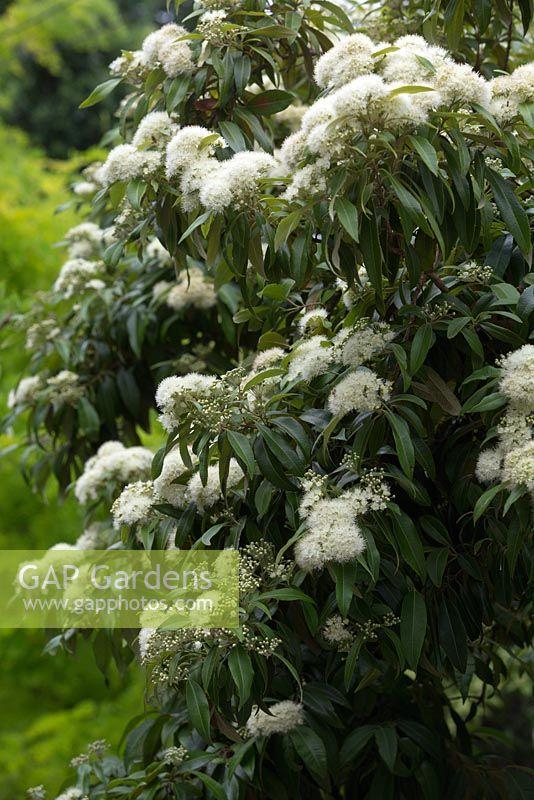 Gap Gardens Backhousia Citriodora Lemon Scented Myrtle Details Of