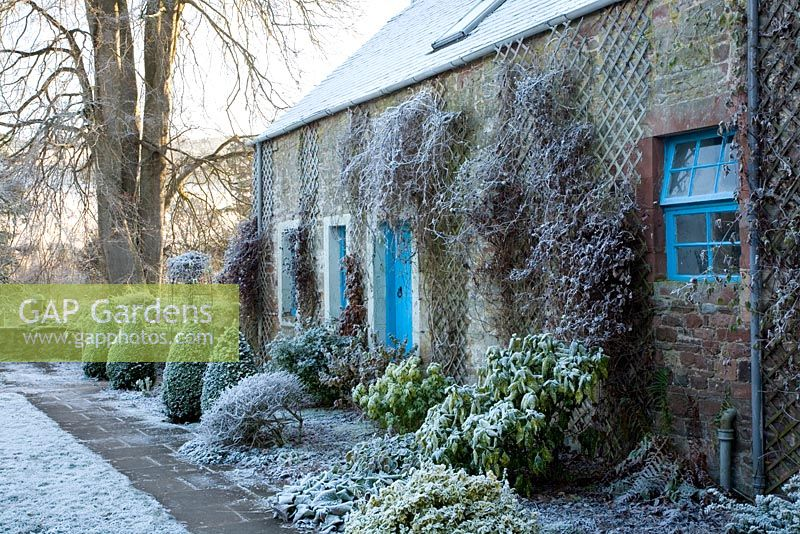Courtyard garden featuring frosted rhododendrons, bergenia, euonymus, box topiary by converted stable house