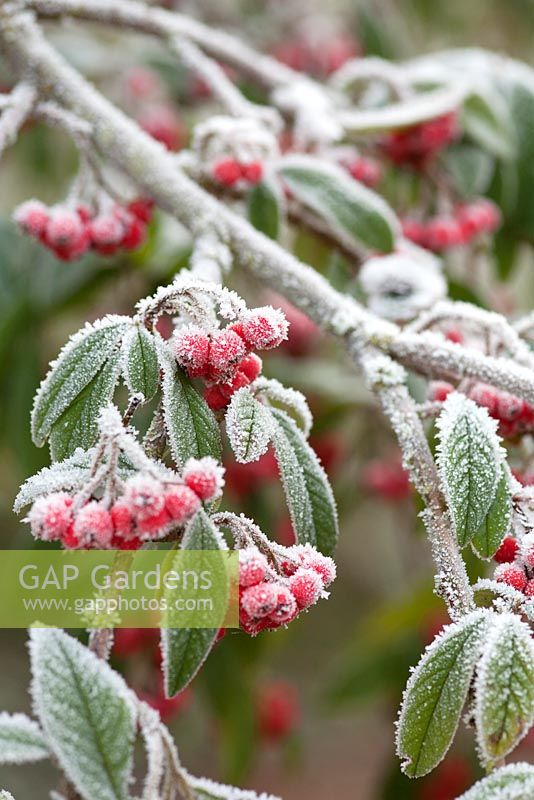 Frosty berries and foliage of Cotoneaster cornubia